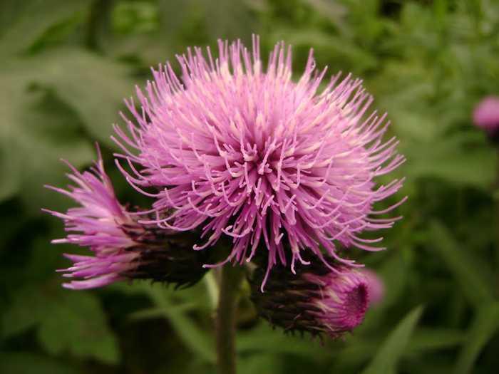 Leuzea (Leuzea Carthamoides)
