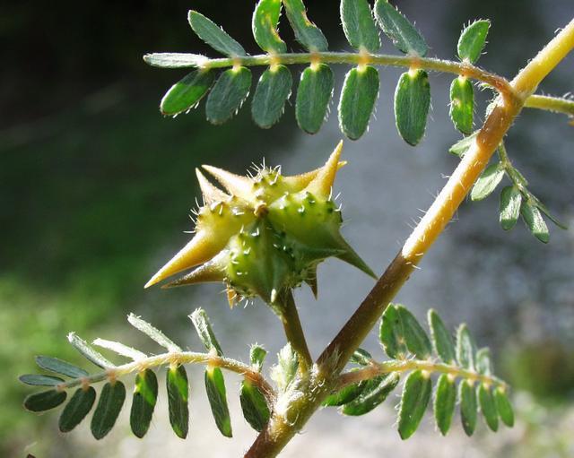 Tribulus Terrestris (Puncture vine)