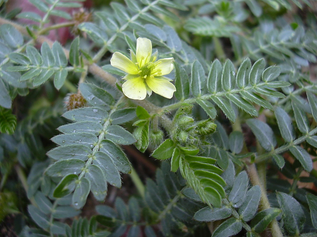 Tribulus_terrestris extract
