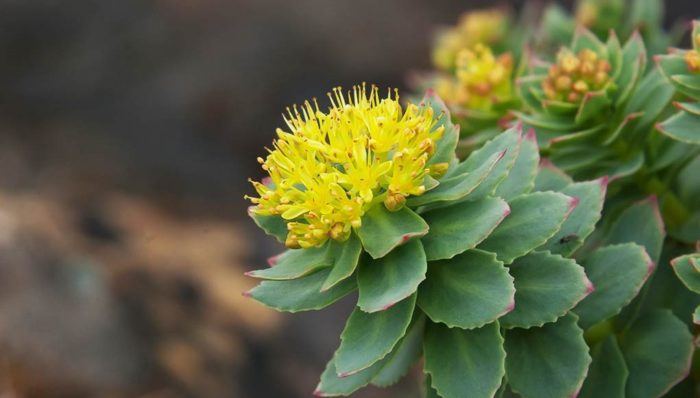 Golden Root (Rhodiola rosea): the advantages and benefits